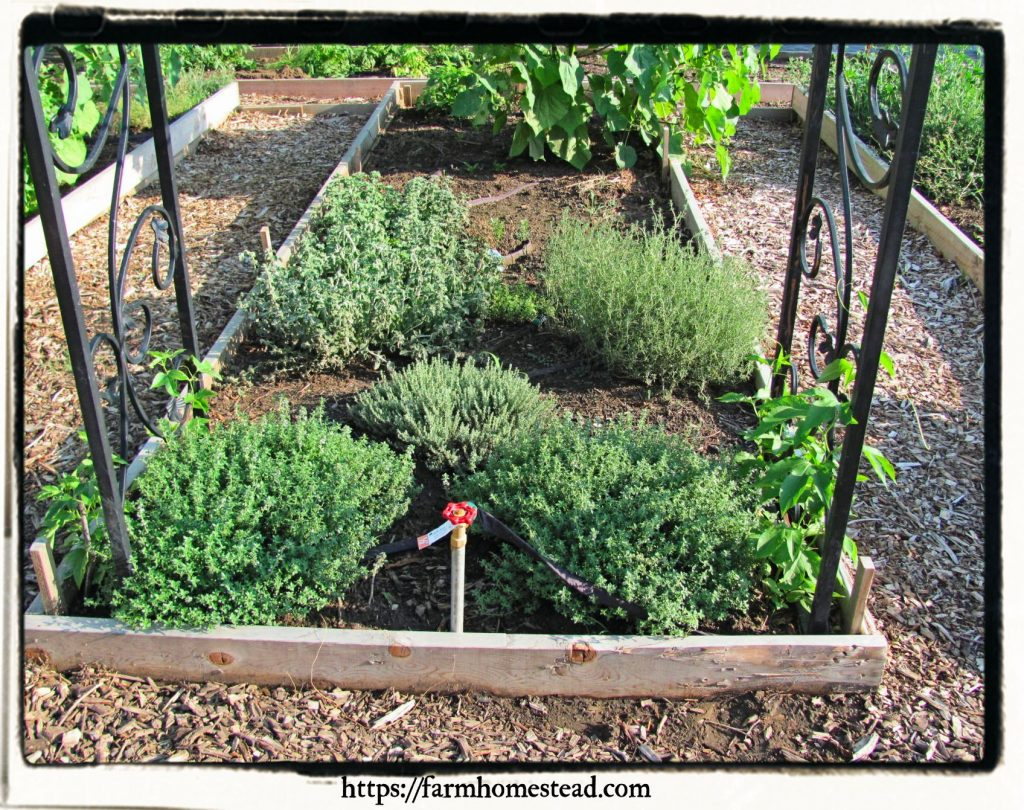 thyme and horehound are good for beginning an herb garden