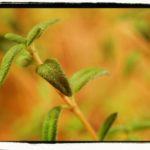 Thyme- Thymus vulgaris