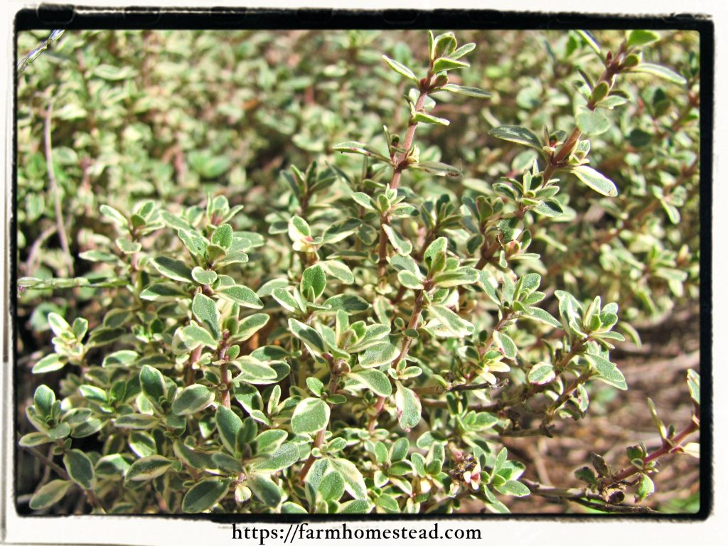 a variety of thyme, Thymus citriodorus