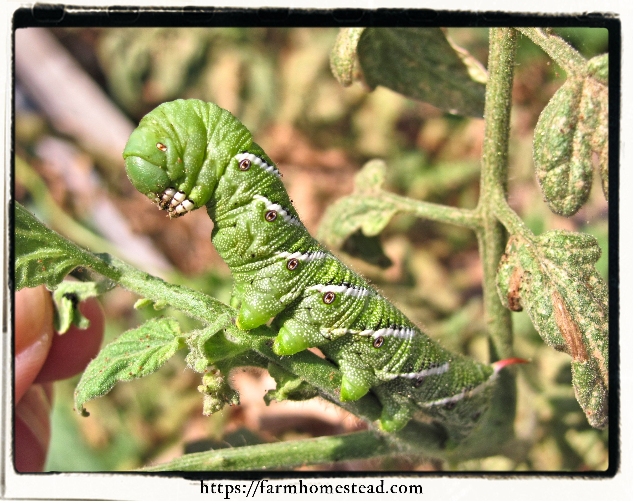 tomato hornworm up close