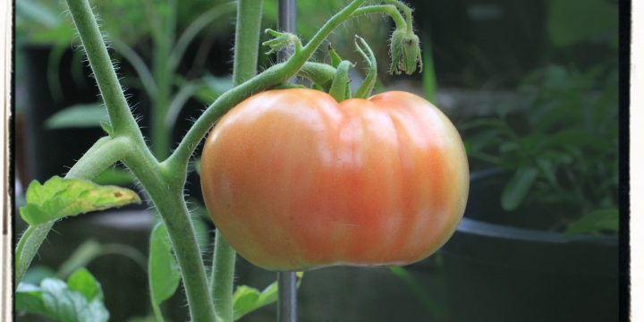 Pinch and Prune for Huge Tomato Harvests