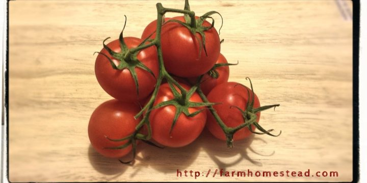 Heirloom Tomatoes and Disease Resistance