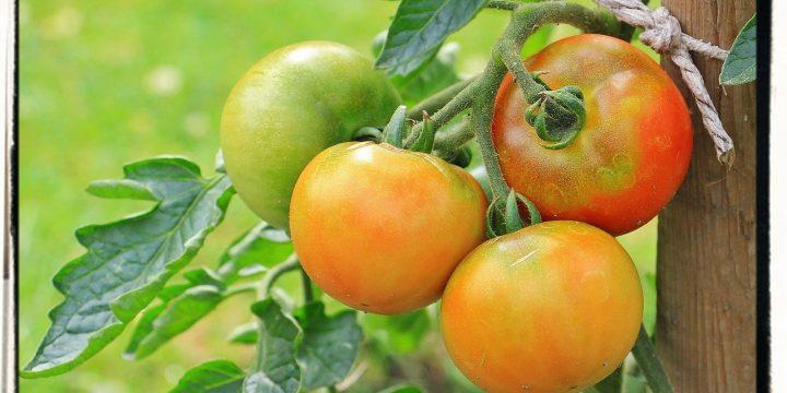 Extend Tomato Harvest