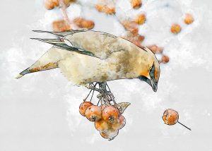 Hawthorn berries are food to much wildlife, including the Bohemian Waxwing