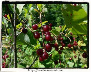 wild cherry fruit