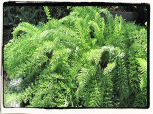 yarrow foliage