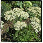 Yarrow – Achillea millefolium