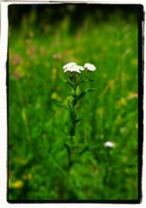 yarrow with blooms